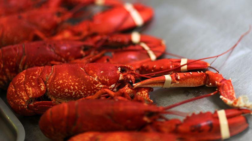 Podem os restos de lagosta ajudar a resolver o problema do plástico?